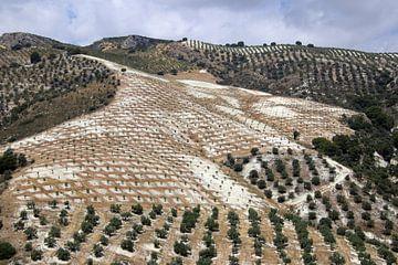 Olijven landschap van jan katuin
