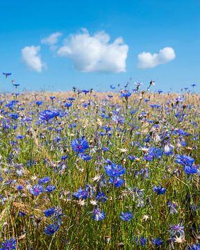corn flowers in summer wheat field under blue sky with fluffy clouds van anton havelaar