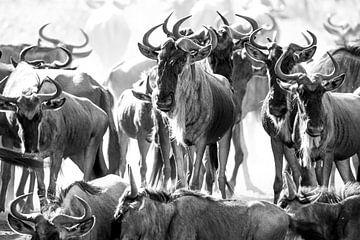Kudde gnoes / Wildebeesten bij drinkplaats van Tom van de Water