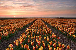 Tulpenveld bij zonsondergang van