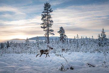 Rendieren in de winter. van Marco Lodder