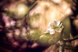 Apfelblüte mit Bokeh