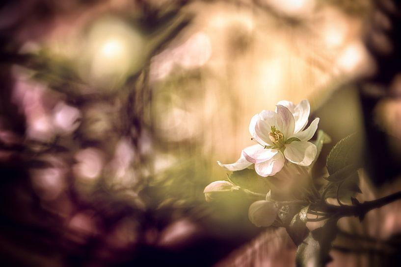 Apfelblüte mit Bokeh von Nicc Koch