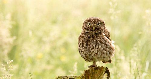 One legged owl
