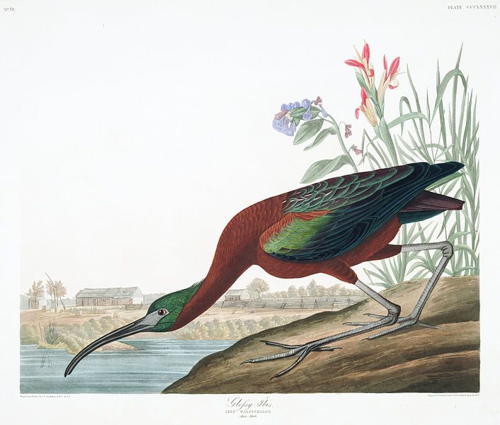 Zwarte Ibis van Birds of America