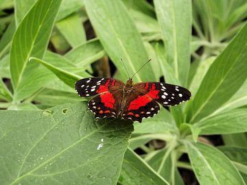 Prachtige rode passiebloem vlinder,  Heliconius erato. van Il se