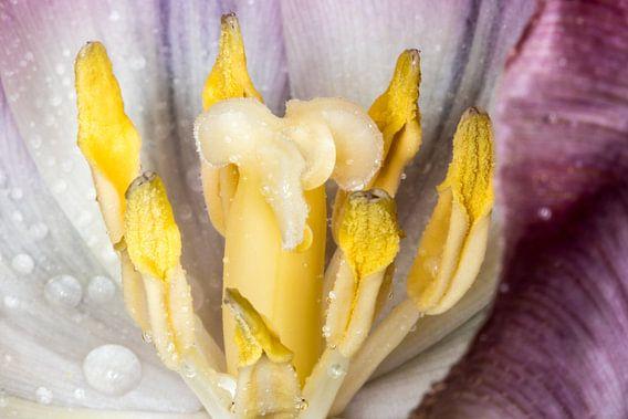 Yellow brains van Nildo Scoop