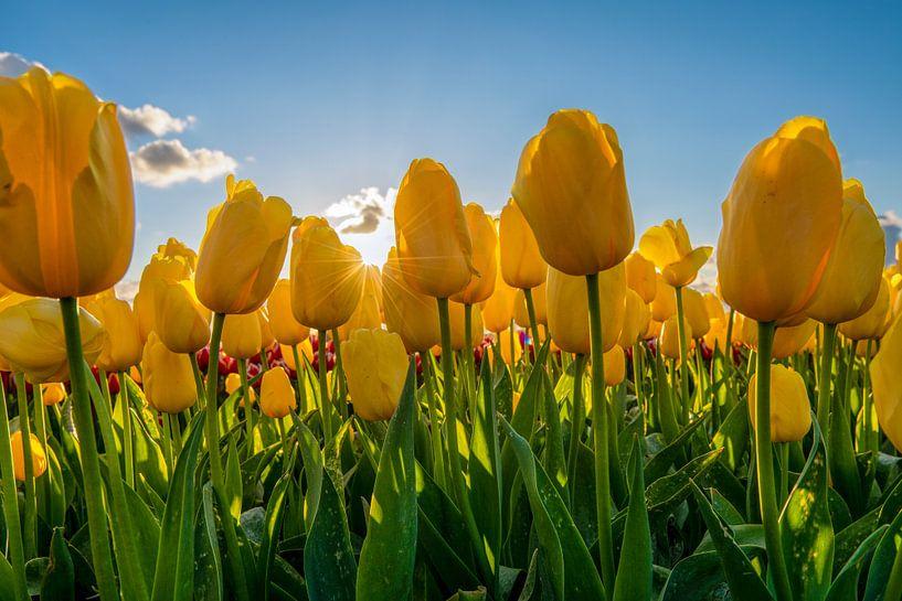 Tulipes jaunes avec ciel bleu sur Fotografie Ronald