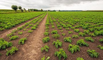 Grote akker met boerenkoolplanten in lange rijen van Ruud Morijn