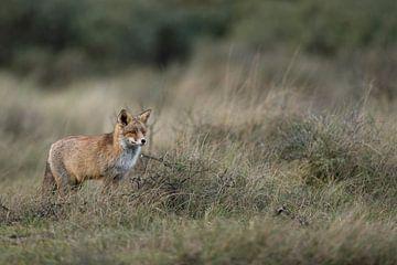 Fuchs ( Vulpes vulpes ) in herbstlichem Umfeld von wunderbare Erde