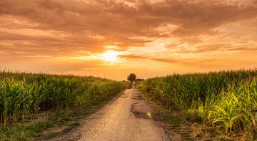 Zonsondergang tussen de maisvelden