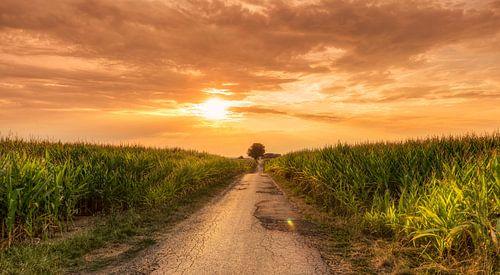 Zonsondergang tussen de maisvelden van