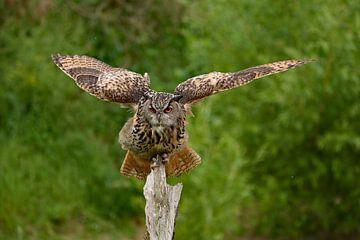 Oehoe landend van Vrije Vlinder Fotografie