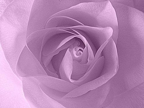 Soft Purple Rose