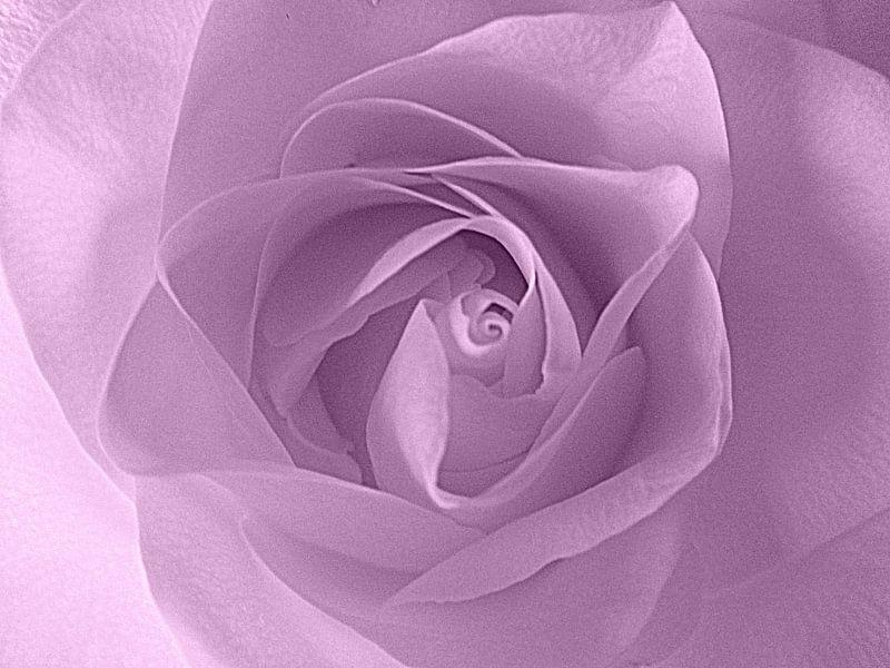 Soft Purple Rose von Nicky`s Prints