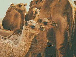 Jonge Kamelen