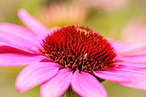 Echinacea von Rob Boon