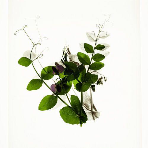 Botanica III Pisum