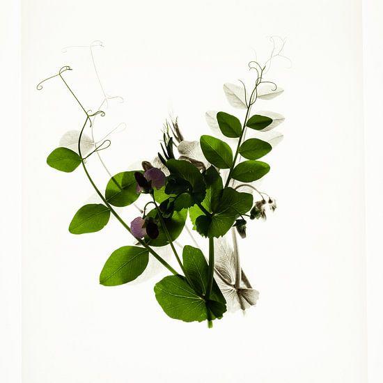 Botanica III Pisum van Niek van Schie