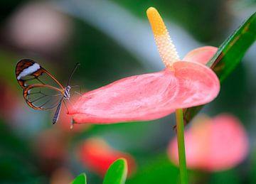 Een glas vlinder rustend op een blad. van Claudio Duarte