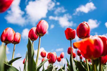 Holländische Tulpen von Bert Kok
