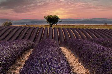 Lavendelveld in de provence van Peter Zendman