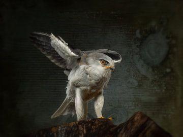 Le cerf-volant gris australien sur Natascha Worseling