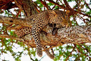 Leopard entspannt sich im Baum im Tarangire-Nationalpark