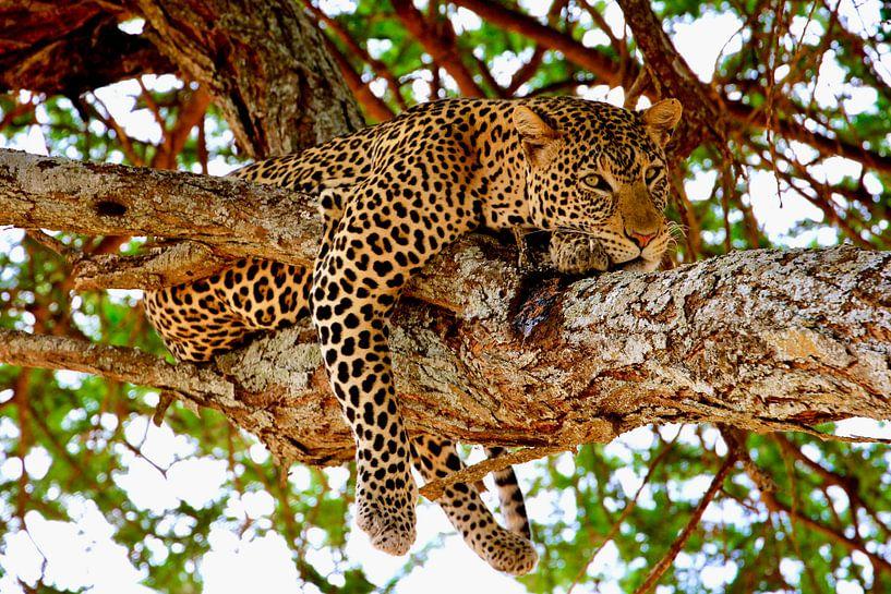 Luipaard relaxt in boom in Tarangire National Park van Daphne de Vries