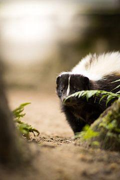 Stinkdier voor het ontbijt van Tierfotografie.Harz