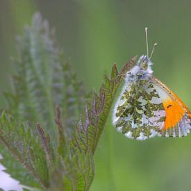 Oranjetipje, een voorjaarsvlindertje van Eric Wander