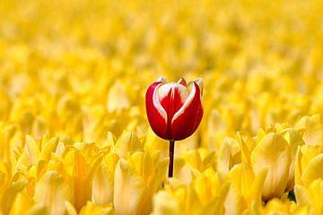 Rood witte tulp tussen gele tulpen von W J Kok