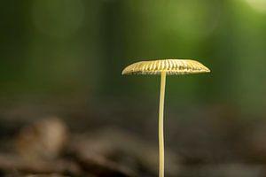 Champignon dans la forêt avec un fond doux sur Robin Verhoef