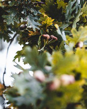 Glands dans l'arbre sur Pim Haring