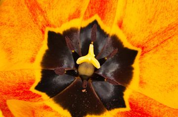 Tulp van BVpix