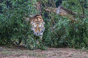 Sibirischer Tiger / Amurtiger von Rob Legius
