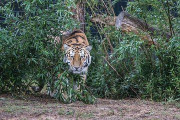 Amur-Tiger von Rob Legius