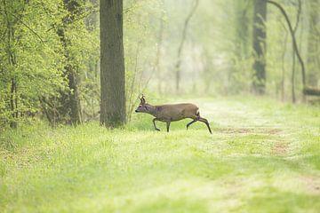 Reebok in vroege ochtend aan een bospad van Jeroen Stel