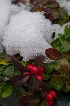 Gaultheria onder de sneeuw van