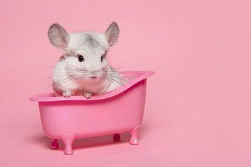 Niedliche weiße Chinchilla in einem rosa Bad in einem rosa Hintergrund von Elles Rijsdijk