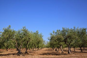 Les oliviers sur Ulrike Leone