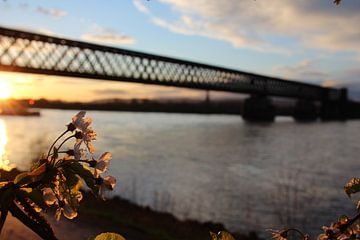 Kirschblüte am Rhein von Johannes Grandmontagne