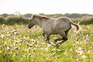 Paard | Rennend konikpaard 2 - Oostvaardersplassen