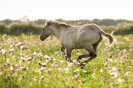 Paard | Rennend konikpaard in de Oostvaardersplassen