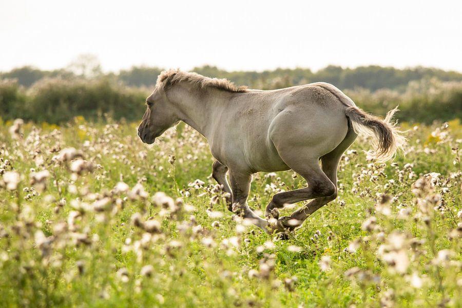 Rennend konikpaard Oostvaardersplassen