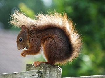 eekhoorn in het zonnetje van Pascal Engelbarts