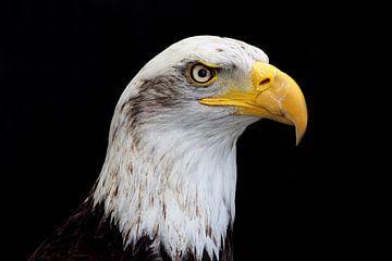 american bald eagle portret van gea strucks