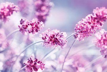 Lavendel sur