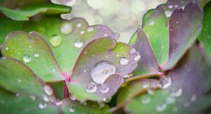 Dauwdruppels op de blaadjes van de akelei