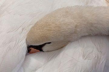 Slapende zwaan van Dries van Assen